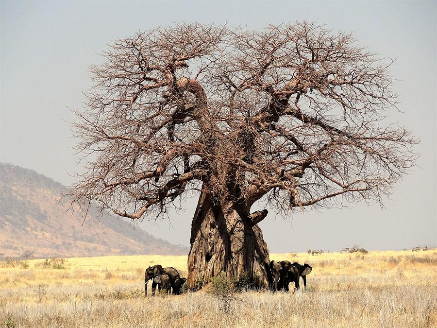 Olifanten onder baobab Tanzania safari