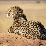 Cheetah beste reistijd Tanzania