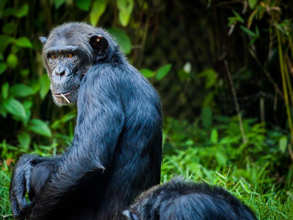 Chimpanzee Tanzania safari