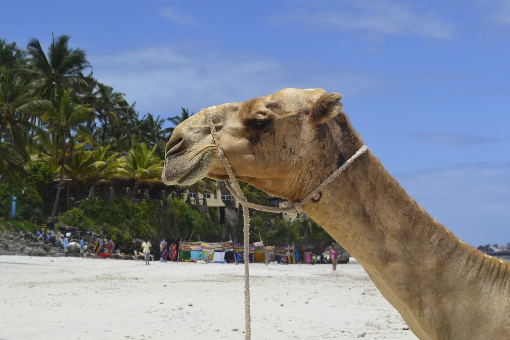 Kenia safari strand vakantie reizen kameel