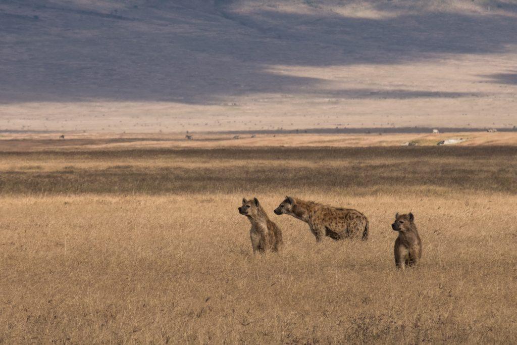 Hyena's op zoek naar een prooi in Ngorongoro Tanzania safari