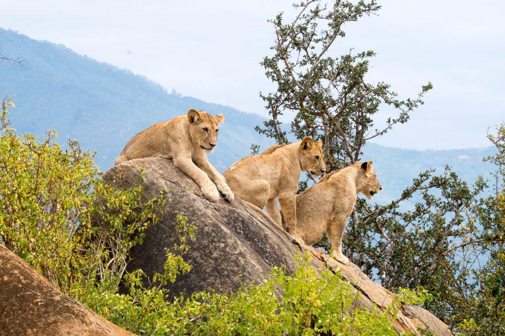 Kenia safari strand vakantie reizen leeuwen Tsavo