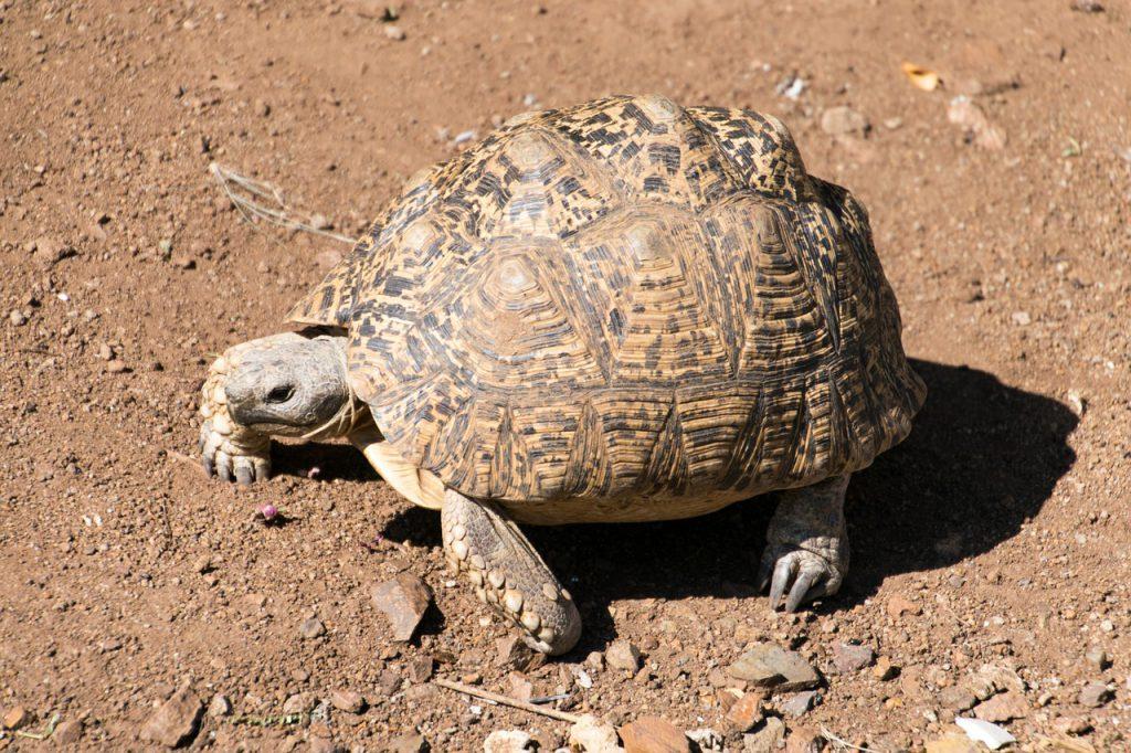 Nationale parken Zuid-Afrika Leopard tortoise