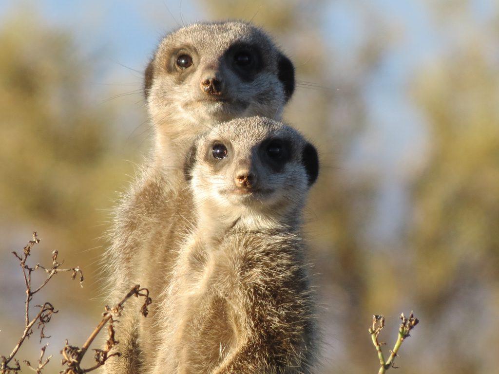 Nationale parken Zuid-Afrika Meerkat stokstaartje