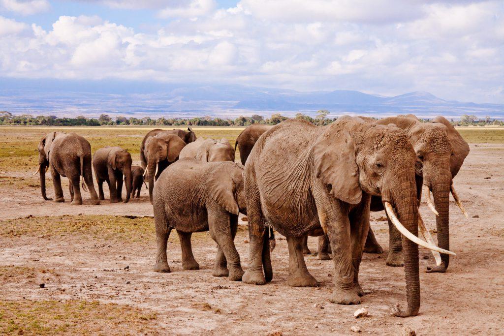 Olifanten Kenia safari strand vakantie