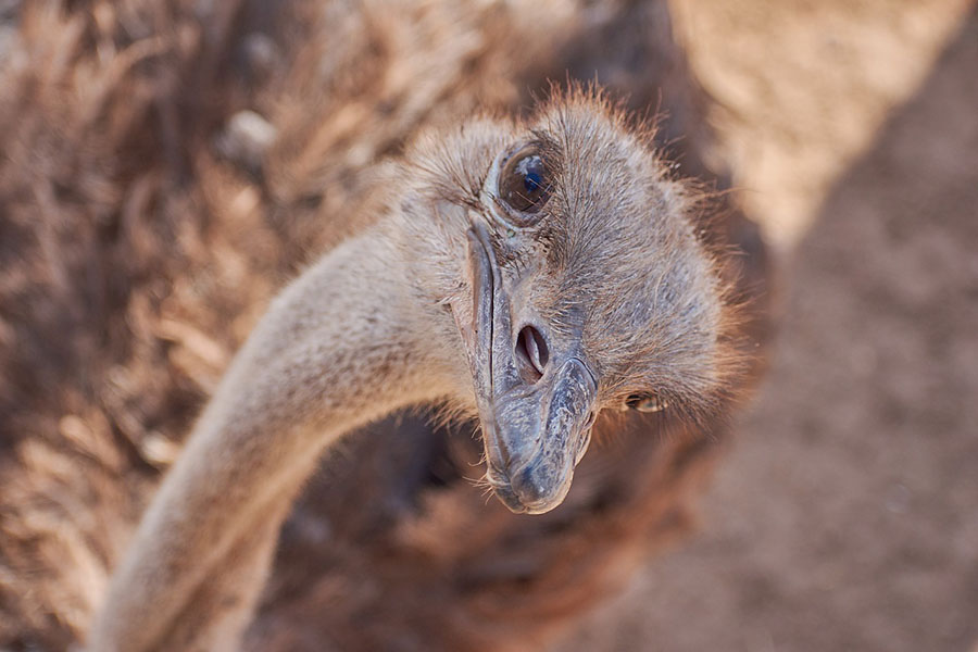 Struisvogel tanzania safari