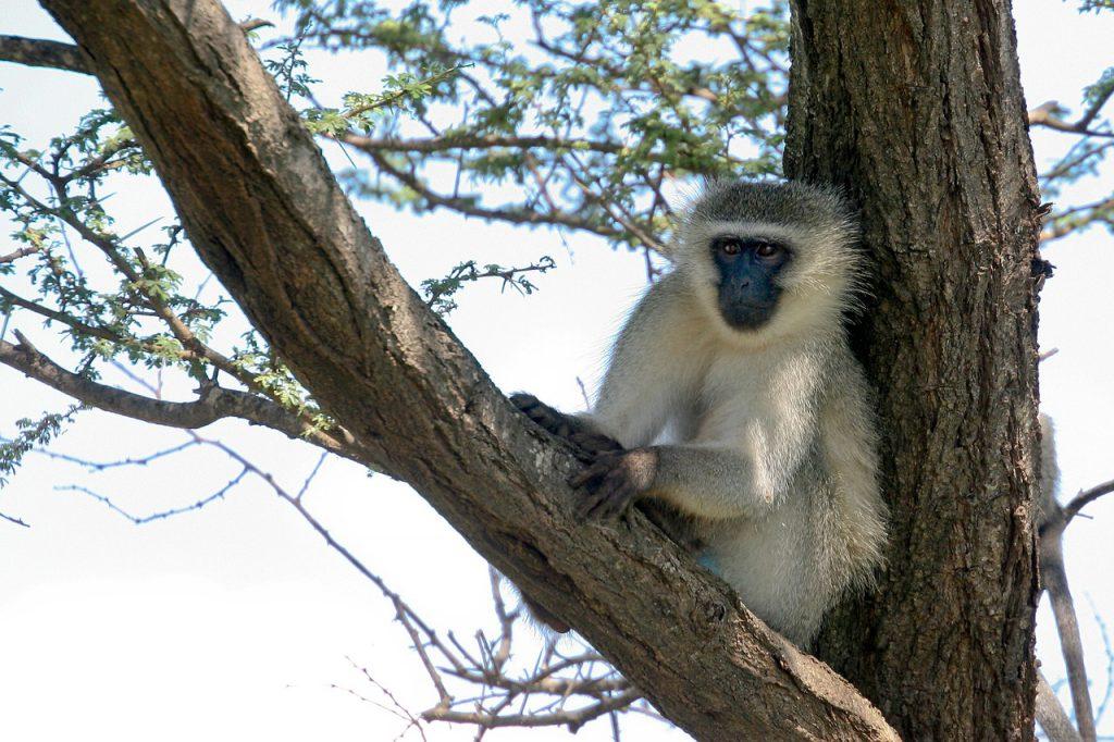 Kenia safari strand vakantie vervet aap