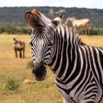 Beste reistijd Zuid Afrika Big Five Zebra