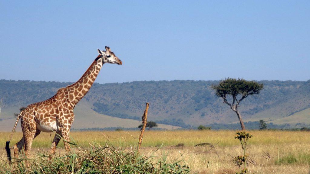 giraffe Kenia safari strand vakantie reizen