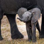 Beste reistijd Zuid-Afrika Baby olifant safari-reizen.nl