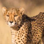 Beste reistijd Tanzania cheetah