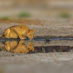 Beste reistijd zuid-afrika big five leeuwin drinkt water