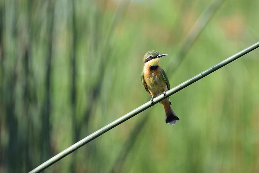 Bijeneter - beste reistijd Krugerpark zuid-afrika vogels