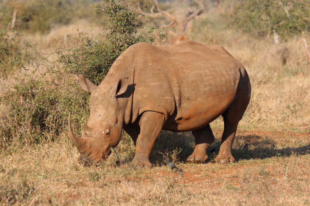 Grazende neushoorn Beste reistijd Krugerpark Zuid Afrika Big Five