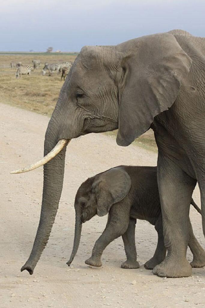 Beste reistijd Zuid Afrika Big Five Moeder olifant en baby