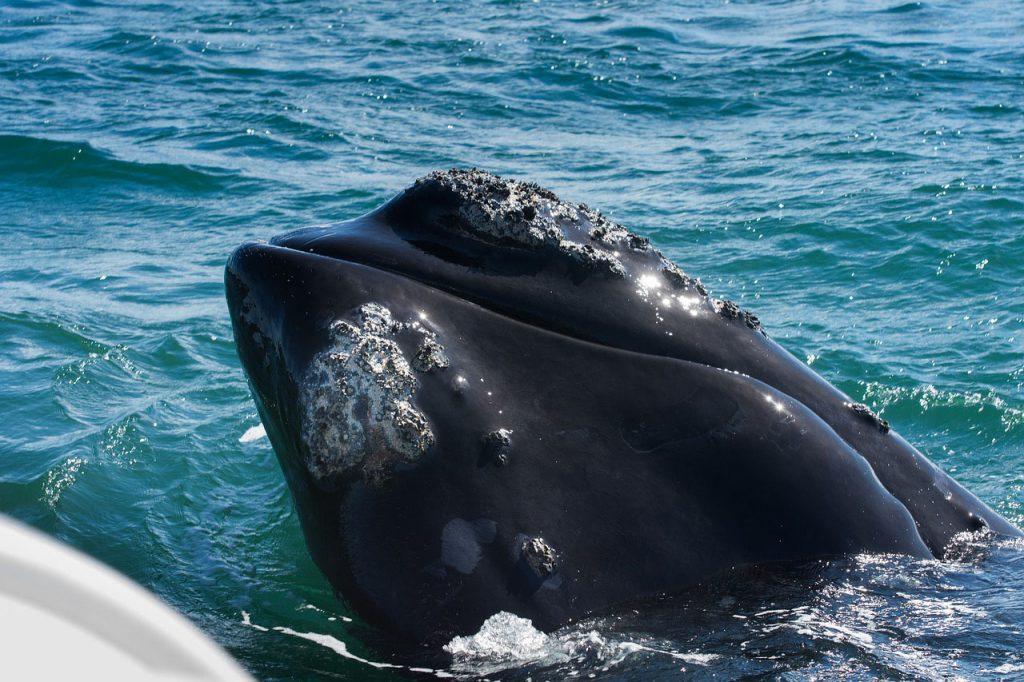 Beste reistijd walvissen Zuid-Afrika