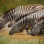 Zebra's drinken water - beste reistijd Krugerpark