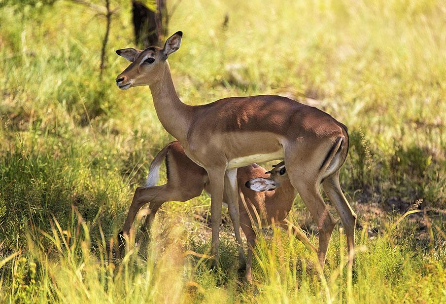 impala kalf drinkt bij moeder - beste reistijd Krugerpark zuid-afrika