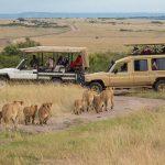 single reizen safari lions