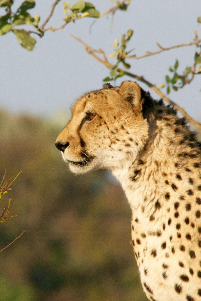 Cheetah beste reistijd Krugerpark