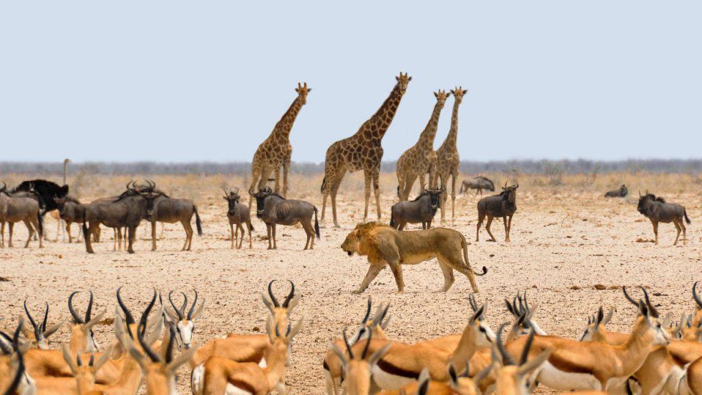 Beste reistijd Namibie Etosha leeuw en prooidieren