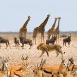 groepsreisn Namibie Etosha leeuw en prooidieren
