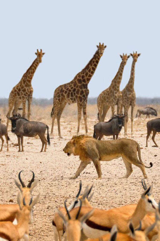 Beste reistijd Namibie rondreis safari Etosha