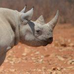 Selfdrive Namibie neushoorn