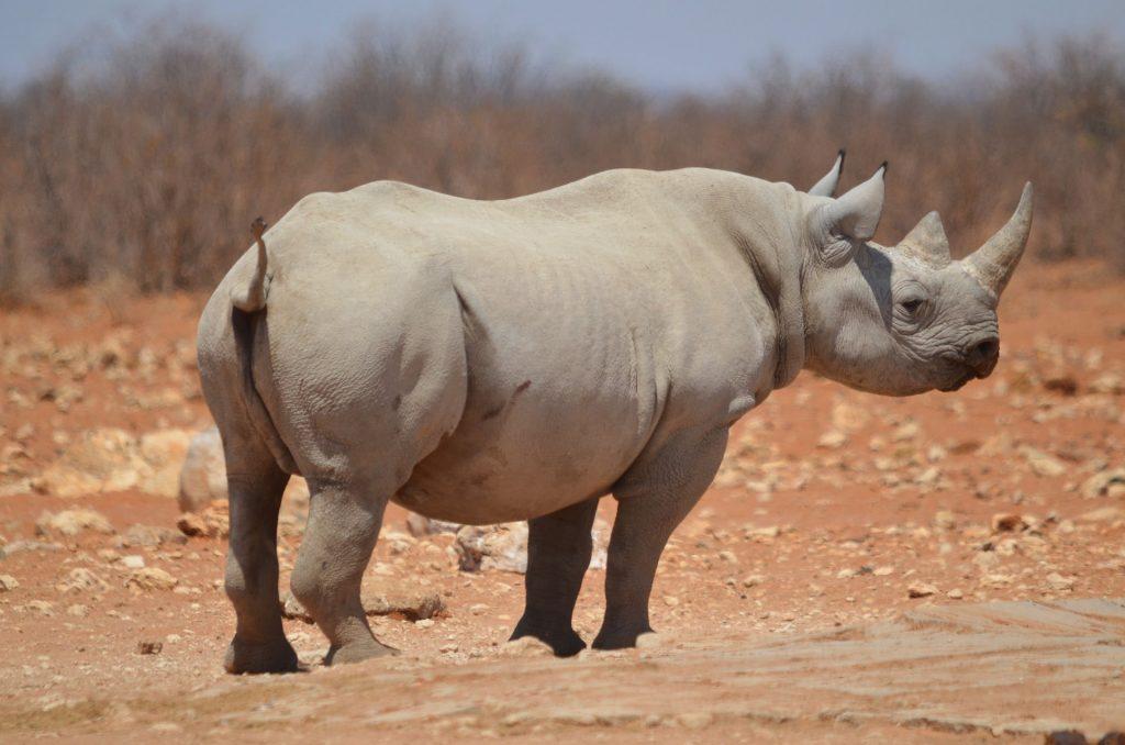 Selfdrive Namibie neushoorn Etosha