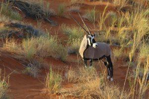 groepsreis Namibie oryx