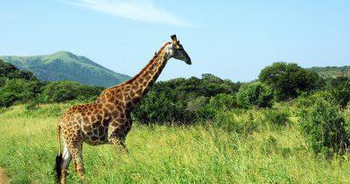 single reizen zuid afrika giraffe