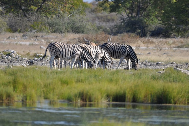Beste reistijd Etosha zebra's